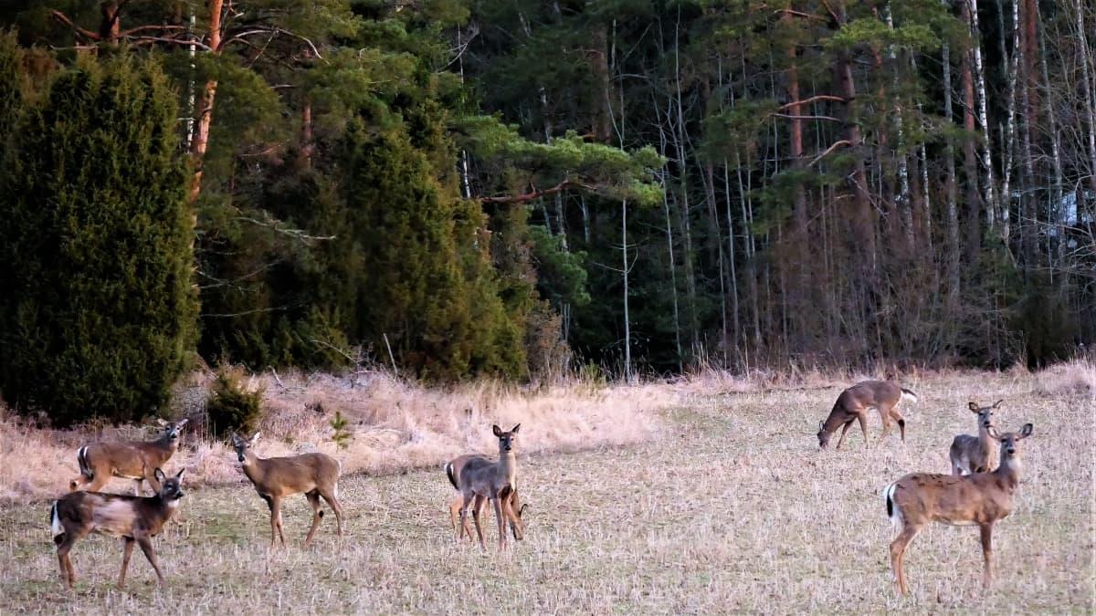 Valkohäntäpeuroja metsänlaidassa.