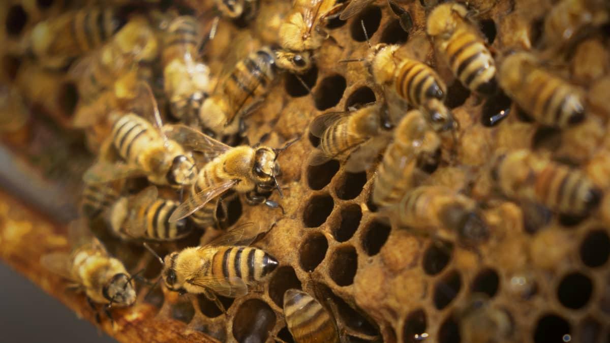 Lähikuva mehiläispesästä.