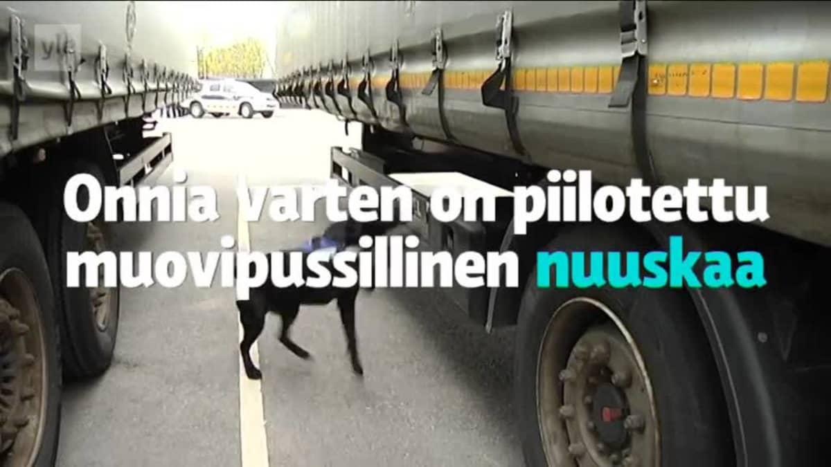 Yle Uutiset Lounais-Suomi: Nuuskakoira Onni löytää harjoituskätkön alle minuutissa