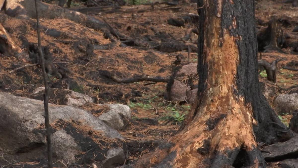 Uusi elämä versoo Pyhärannan metsäpalon tuhkasta