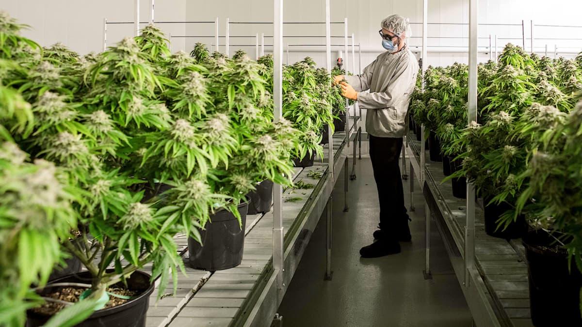 Laillista kannabista tuottaa Kanadassa jo yli 100 tehdasta