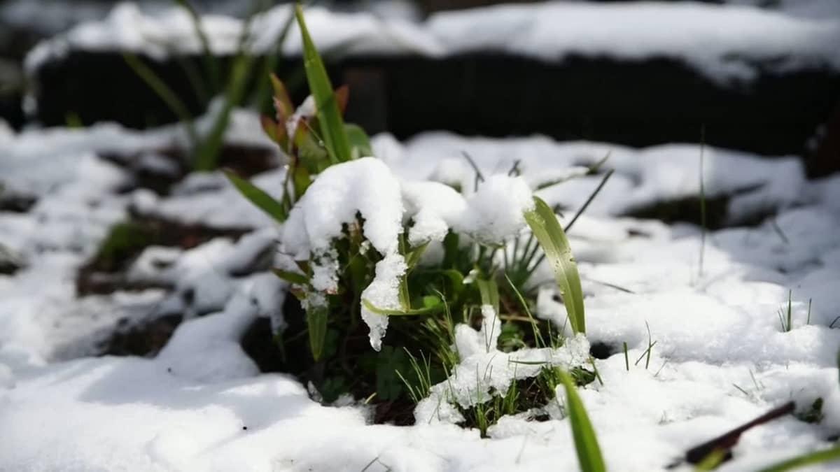 Kengurut loikkivat lumisessa maastossa Australiassa