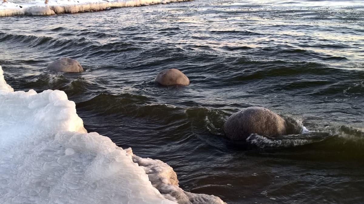 Jääpalloja Ohtakarin rannassa Lohtajalla.