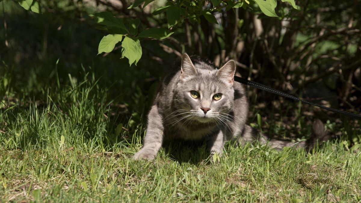 Kissa istumassa pensaan alla