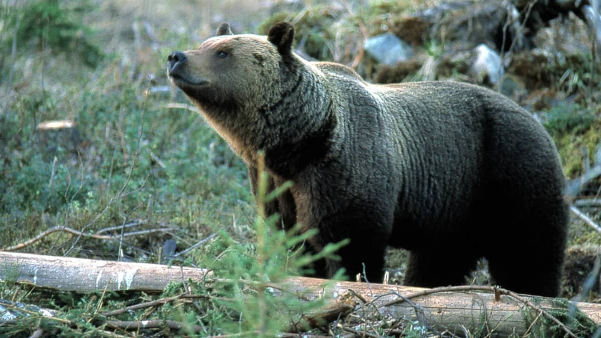 Karhu nuuhkii ilmaa metsässä.
