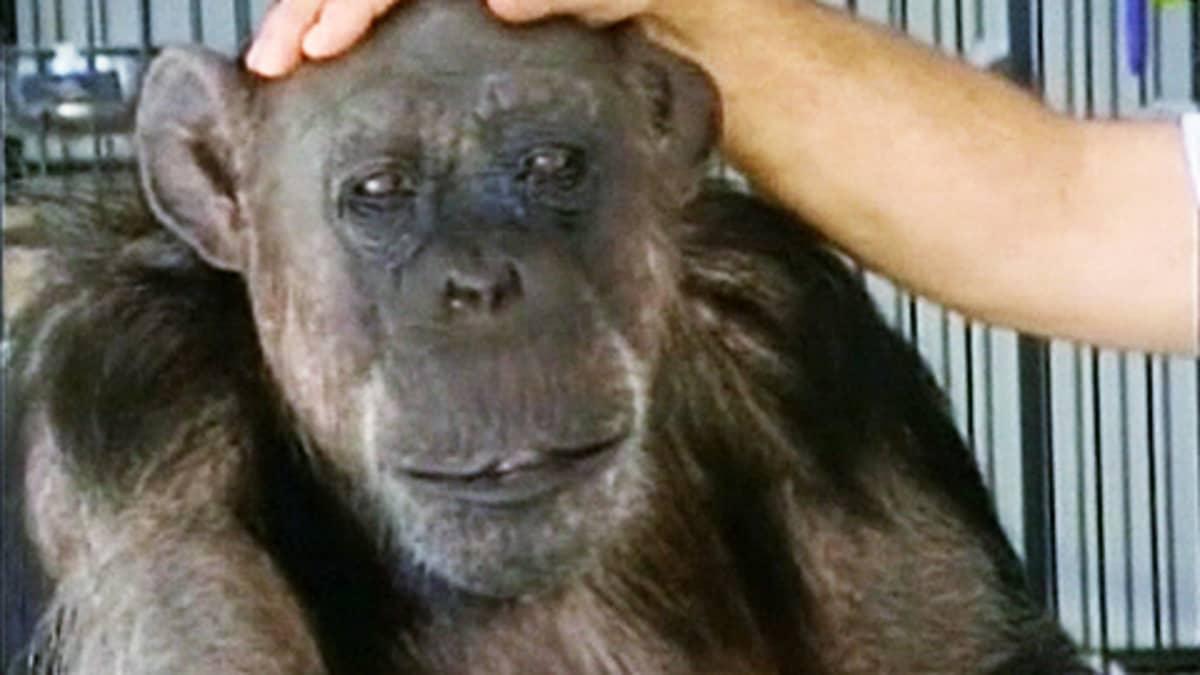 Cheetah-simpanssi, jonka päätä hoitaja silittää.