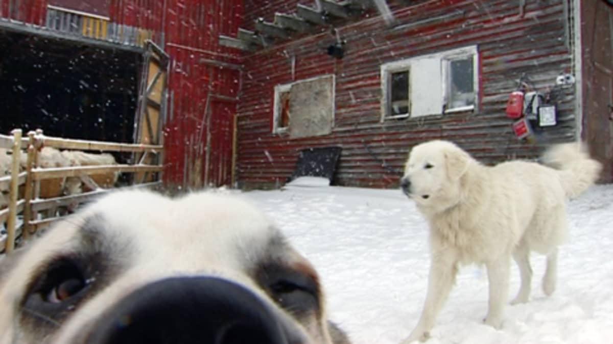Kaksi laumanvartijakoiraa Ilomantsilaisen Anssilan maatilan pihamaalla.
