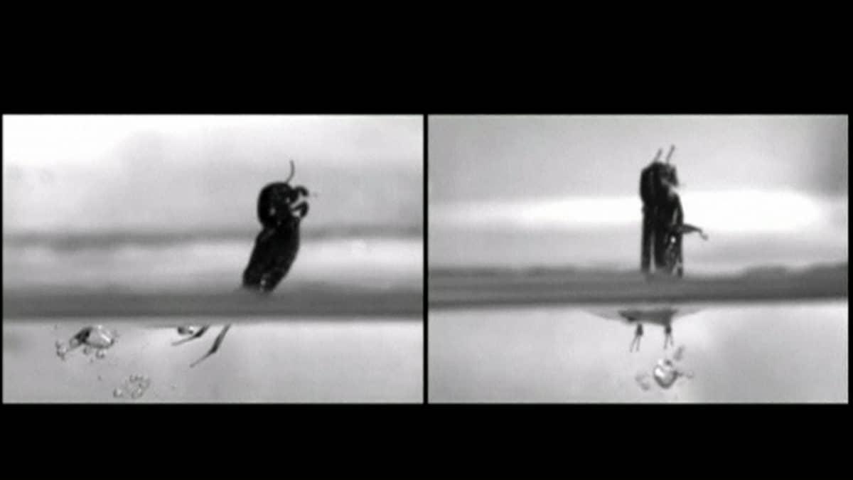 Kääpiömyyräsirkka hyppää vedessä.