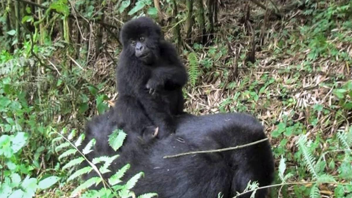 Gorillanpoikanen emon päällä