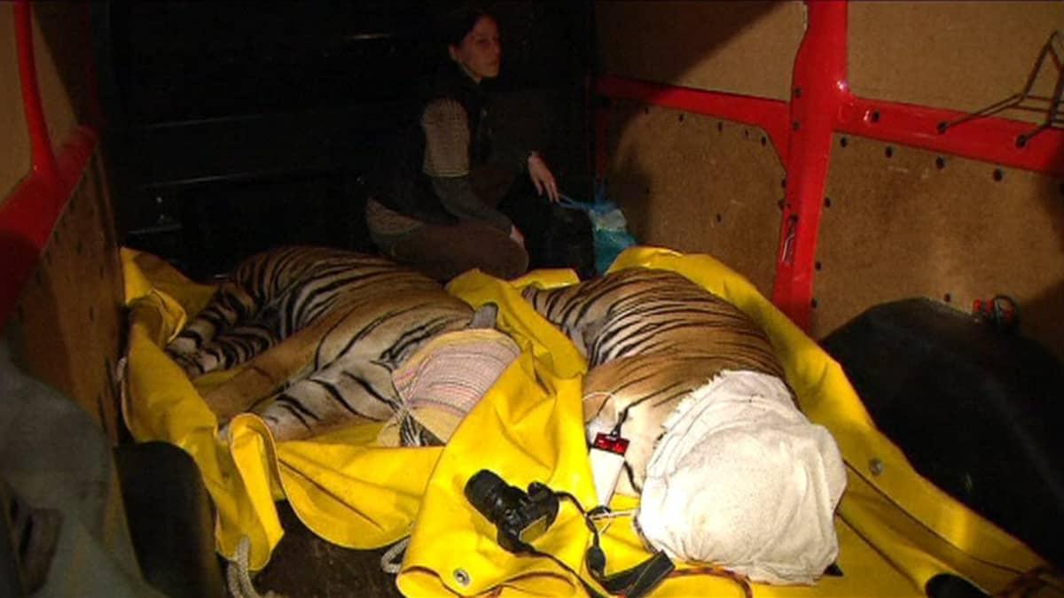 Nukutettuja tiikereitä Prahan eläintarhassa.