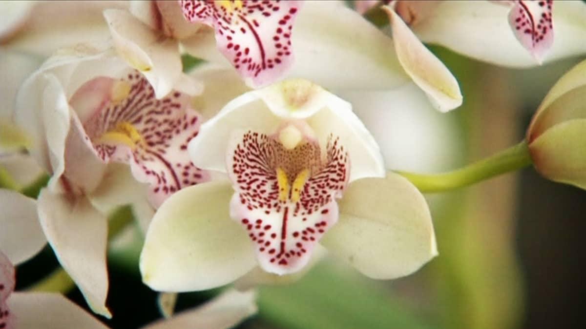 Valkoinen orkidea.