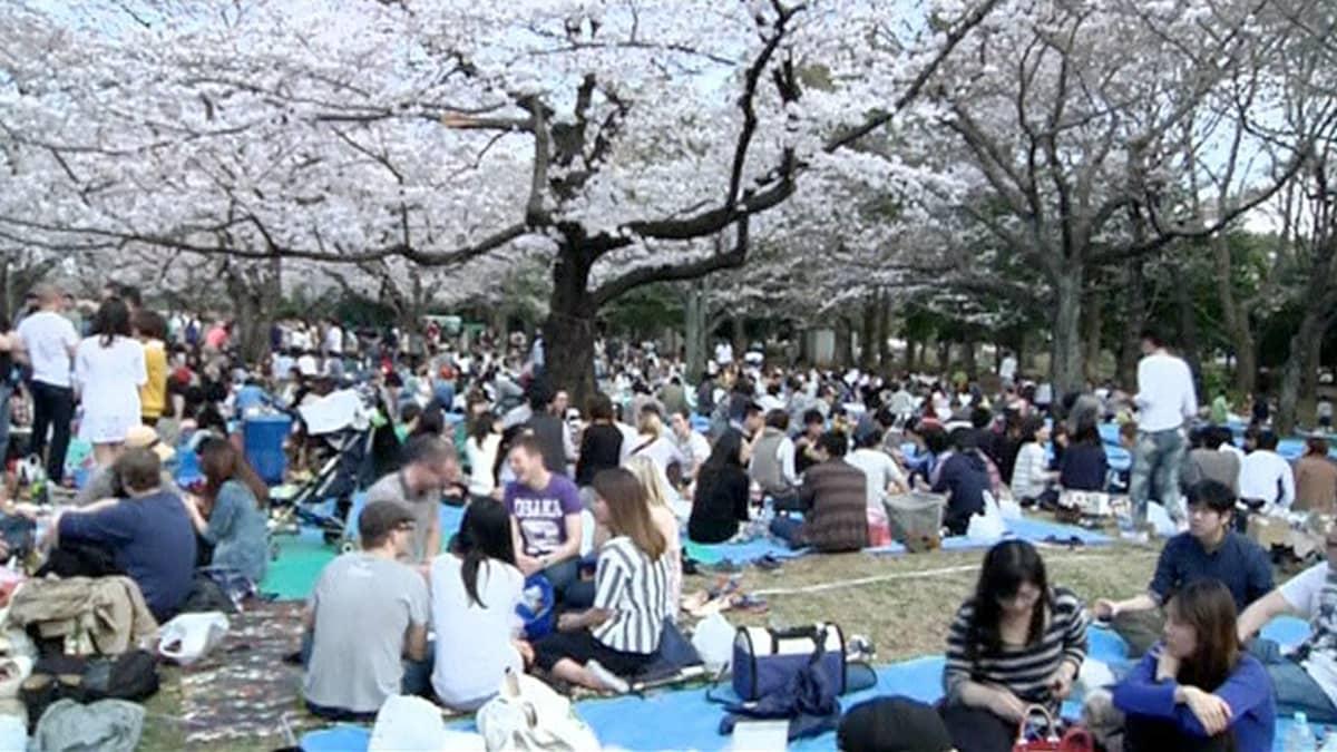 ihmisiä piknikillä kirsikkapuiden alla