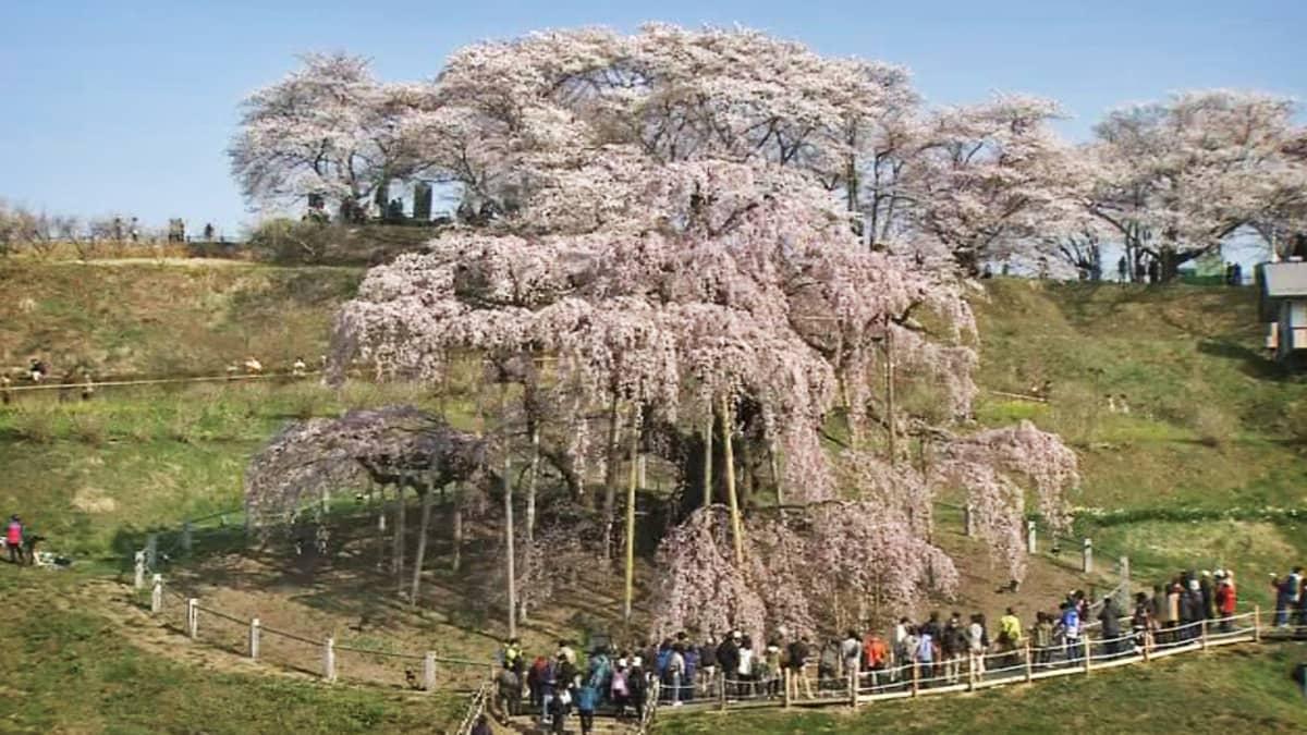 Tuhatvuotinen kirsikkapuu.