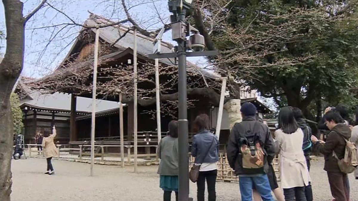 Ihmiset ihastelevat kukintansa aloittaneita kirsikkapuita Yasukunin temppelin alueella Tokiossa 23. maaliskuuta.