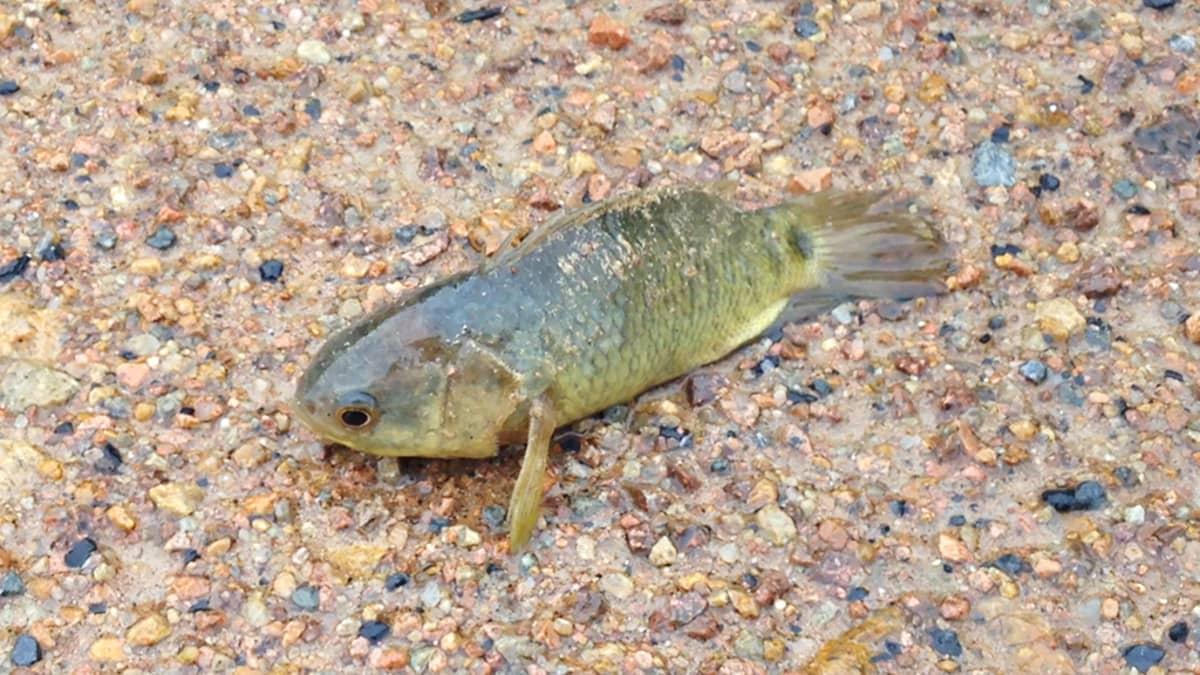 Maalla toimeeentuleva kala