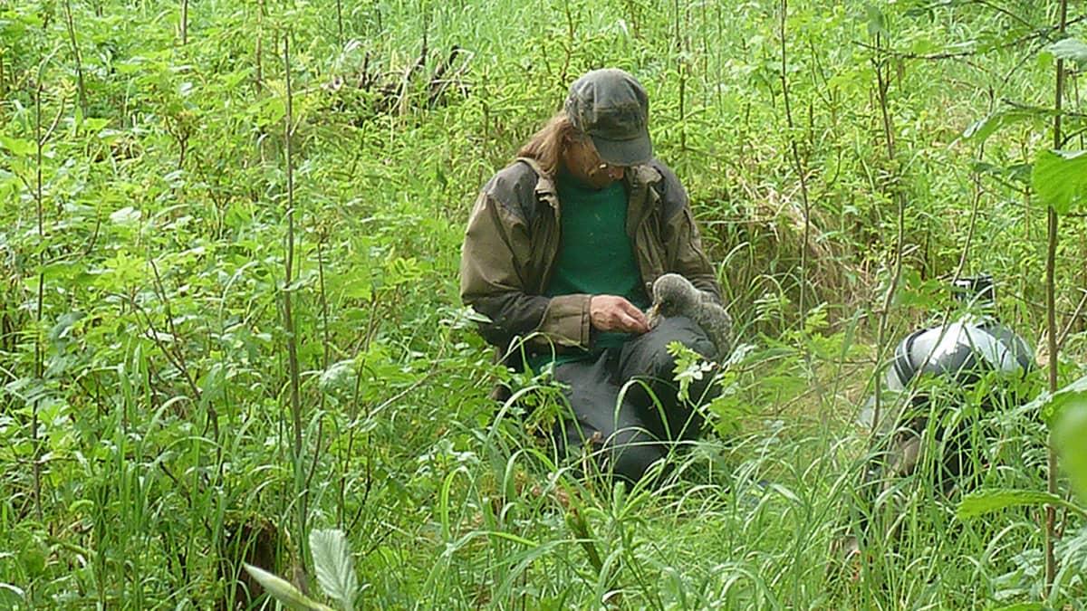 Matti Suopajärvi pitää sylissään lapinpöllön poikasta rengastaakseen sen.