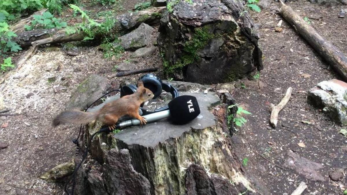 orava nuuskii mikrofonia kannon päällä