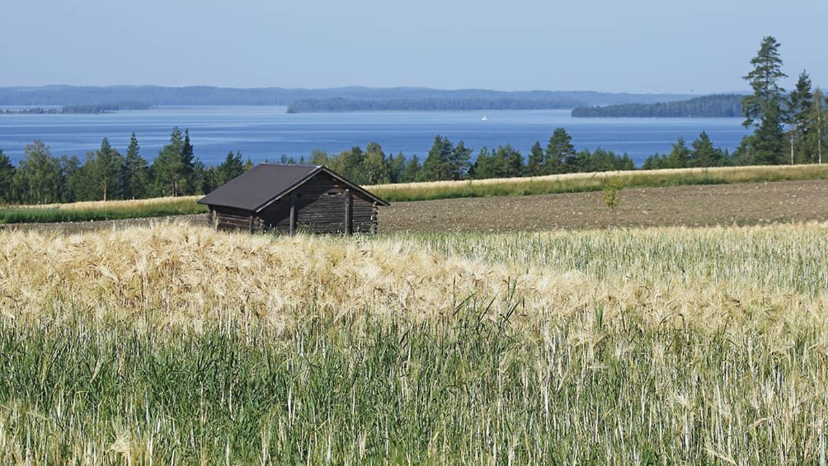 Viljapelto ja järvimaisema.