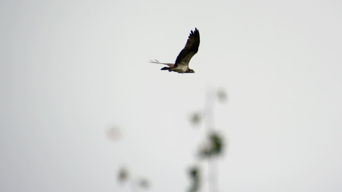 Kalasääski lentää Tervolan taivaalla.