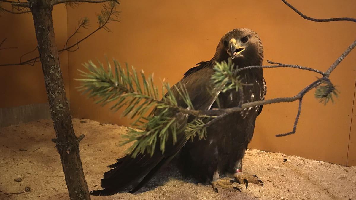 maakotka Heinolan lintutarhalla