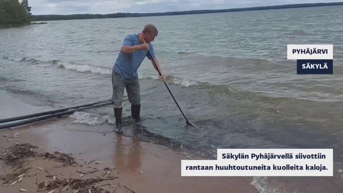 Kuolleita kiiskiä ajautuu massoittain Säkylän Pyhäjärven rannoille