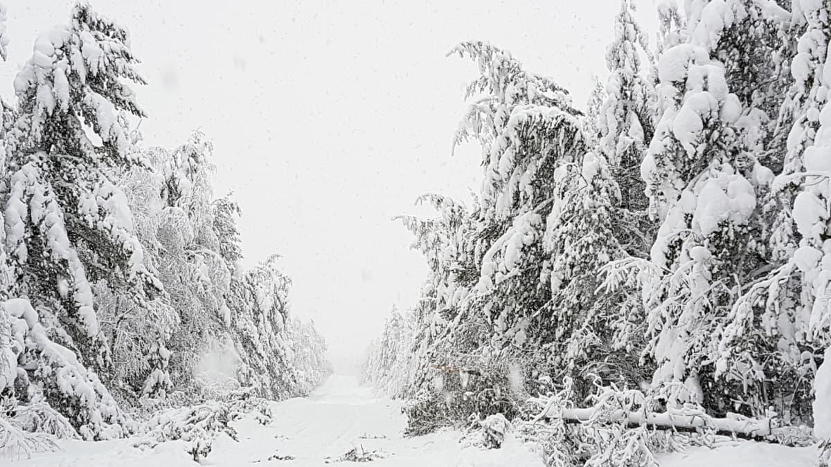 Luminen metsä.