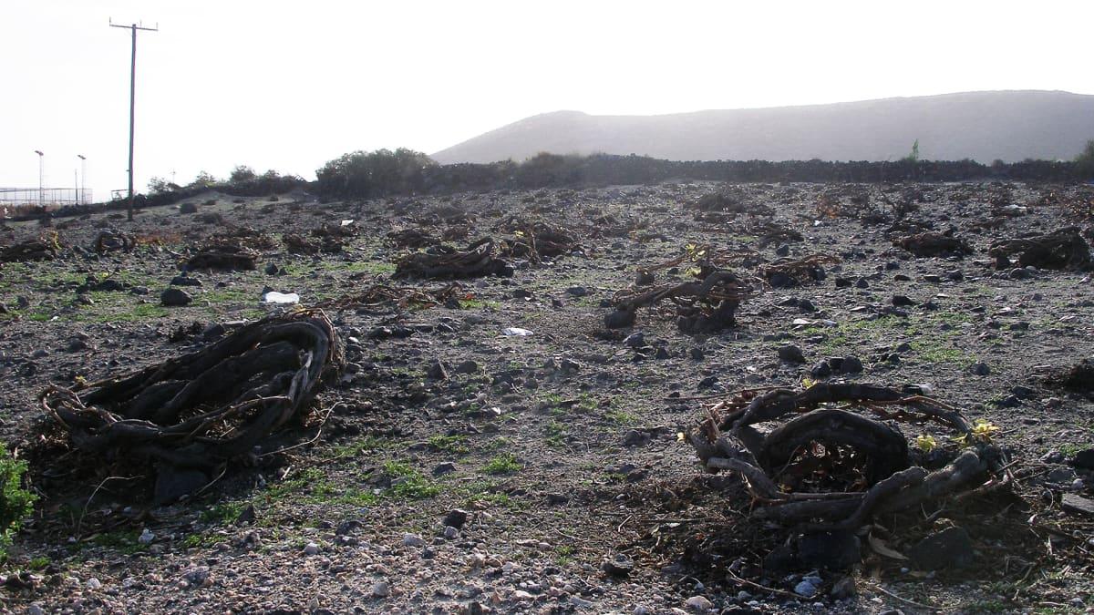 Viininviljely on turismin ohella Santorinin tärkeä elinkeino.