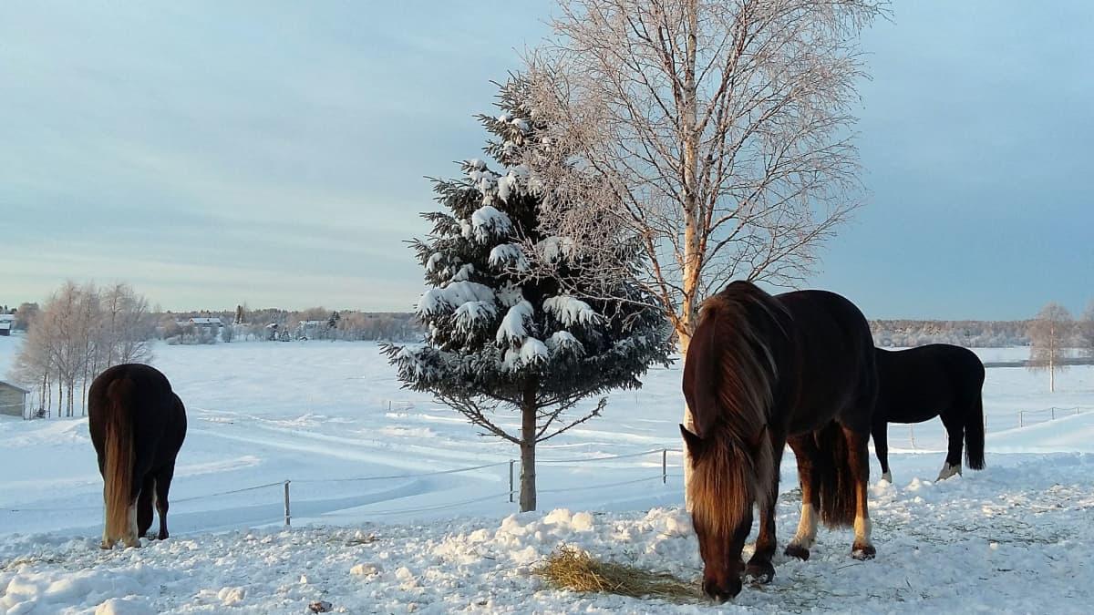 Hevoset syövät heinää jokivarressa talvella