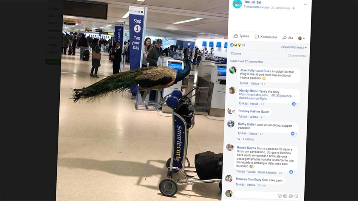 riikinkukko lentokentällä