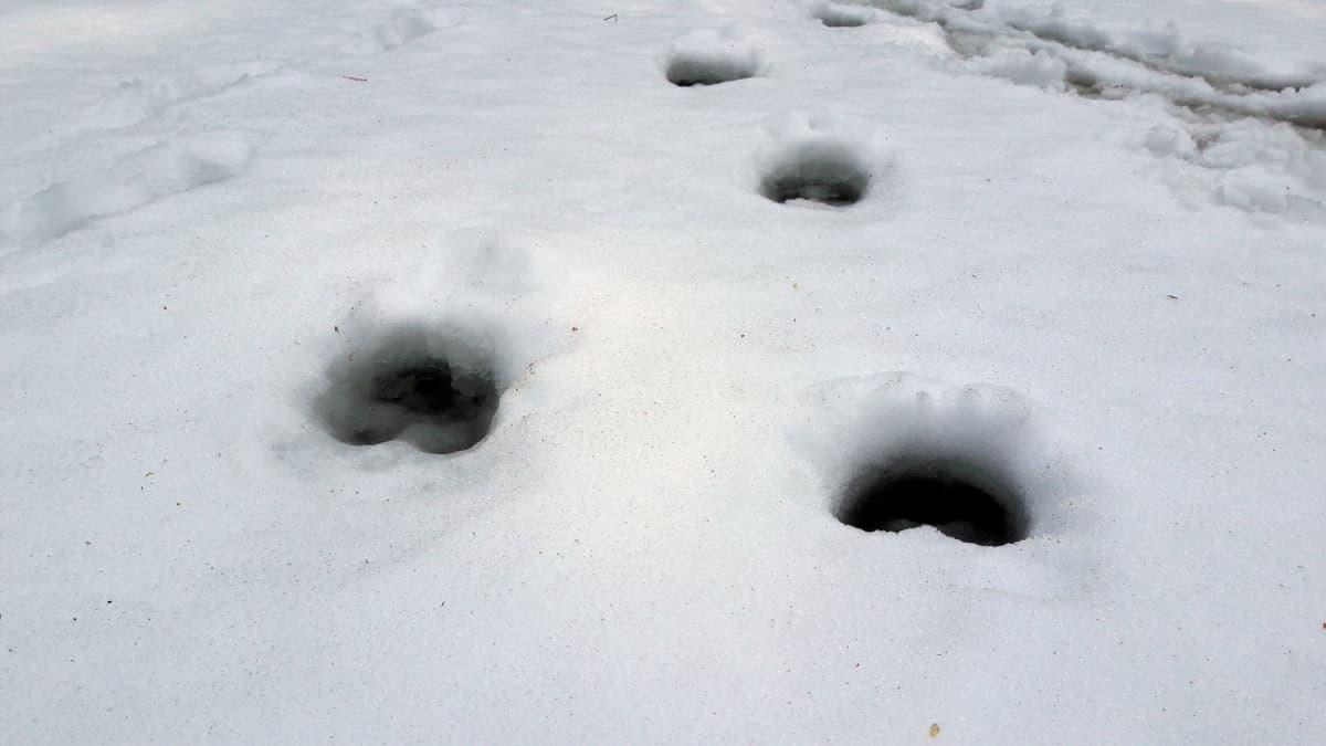 Hirven jäljet lammen jäällä