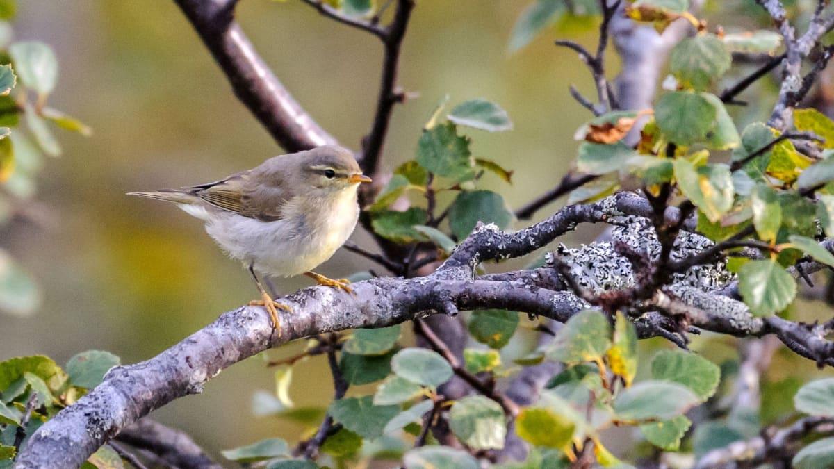 Pajulintu oli pitkään yleisin lintu Suomessa, mutta nyt peippo kiilasi kärkeen.