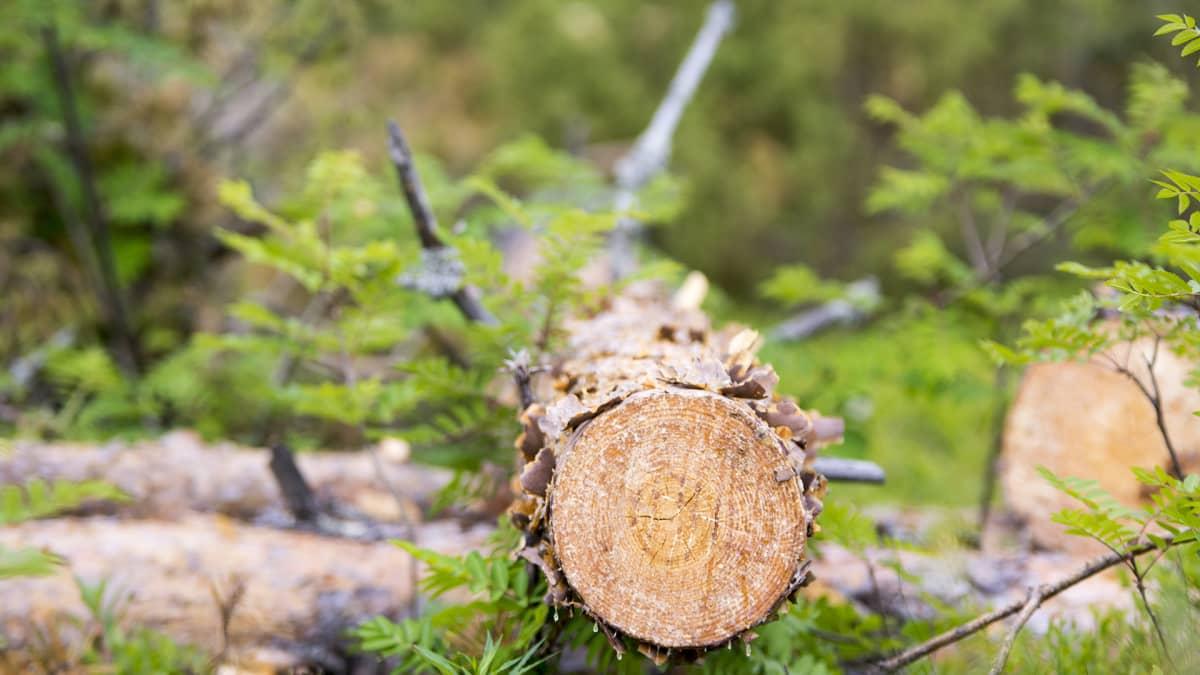 Ristijärvi Saukkovaara Metsä 3