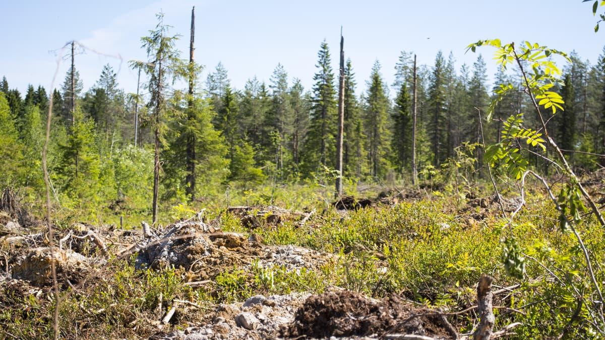 Metsä muokattu taimet istutus Paltamo