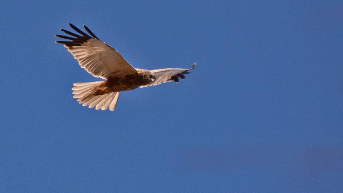 Ruskosuohaukka lentää sinitaivaalla.