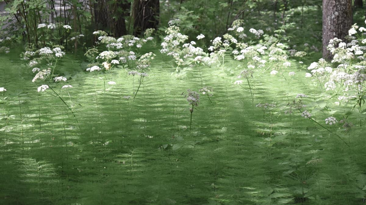 Saniaisia ja kukkia metsässä.