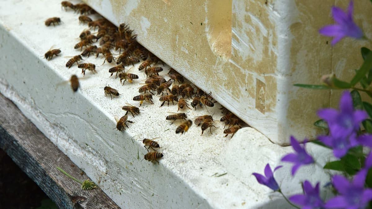 Italialaisnen mehiläisrotu pesällään