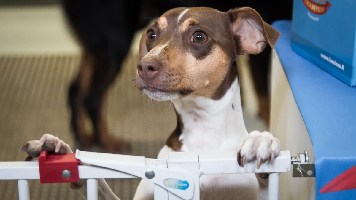 Koira seisoo takatassuillaan ja nojaa porttiin.