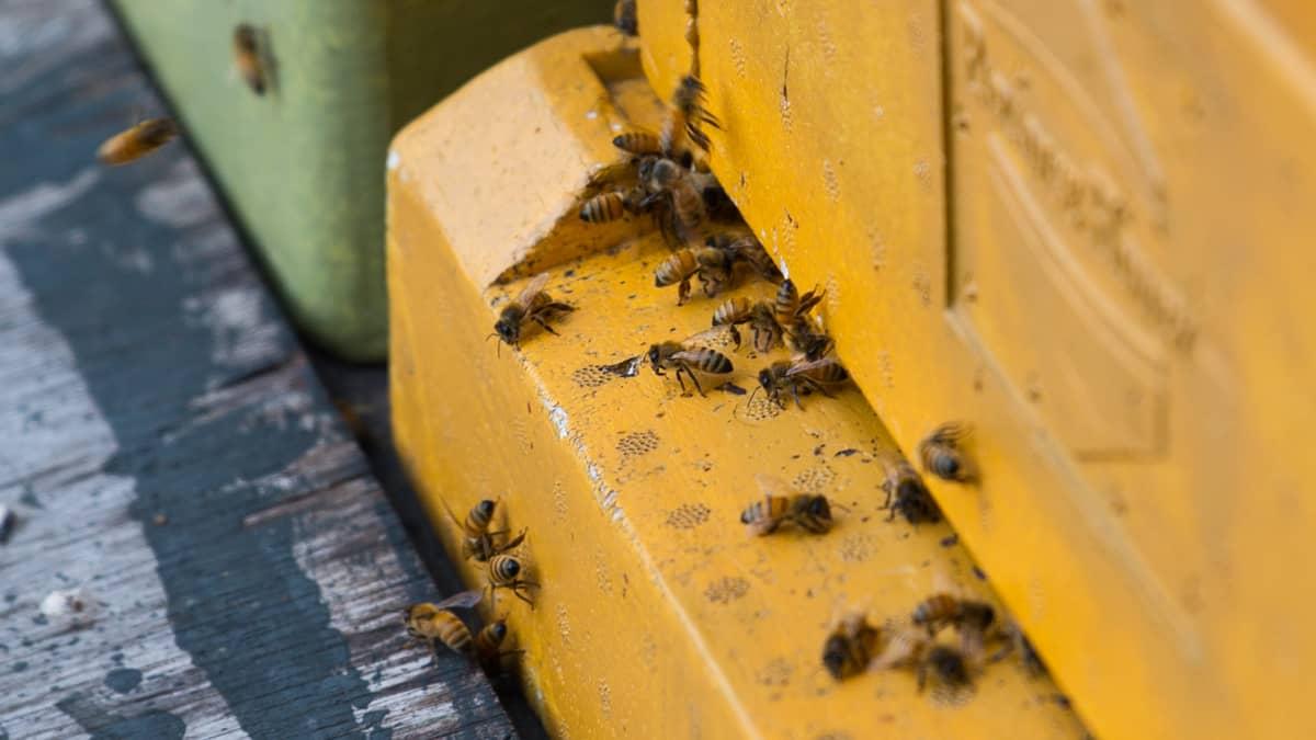 Mehiläisiä pesän lentoaukolla