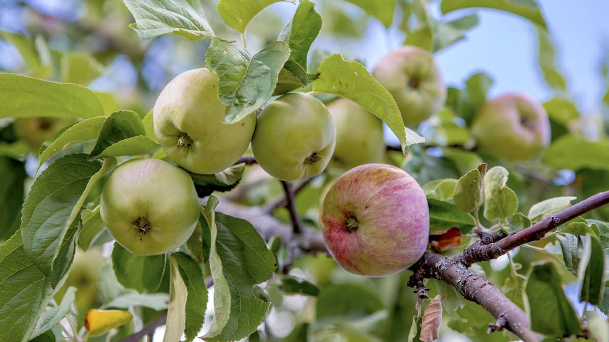 Omenaa kasvaa puussa.