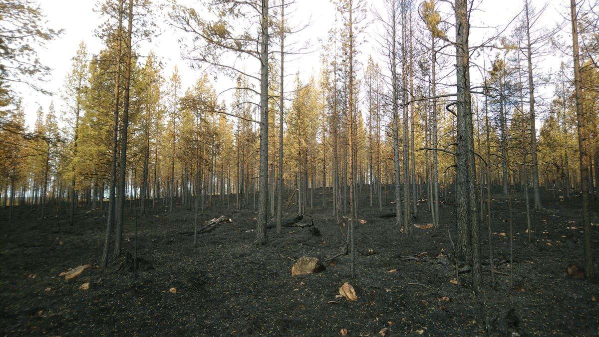 Metsäpalon jälkiä Keski-Ruotsissa.