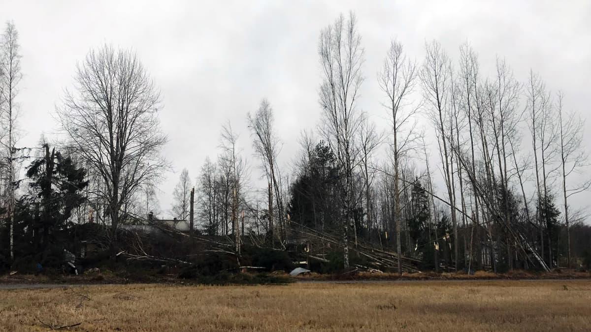 Trombin kaatamia puita Hattulassa
