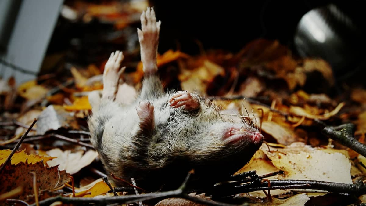 Rotat lisääntyvät ilmastonmuutoksen myötä Suomessa kesät talvet, mutta kukaan ei tiedä, kuinka paljon rottia kaupungeissa liikkuu. Pelkästään Helsingissä niitä arvellaan olevan sadasta tuhannesta puoleen miljoonaan.