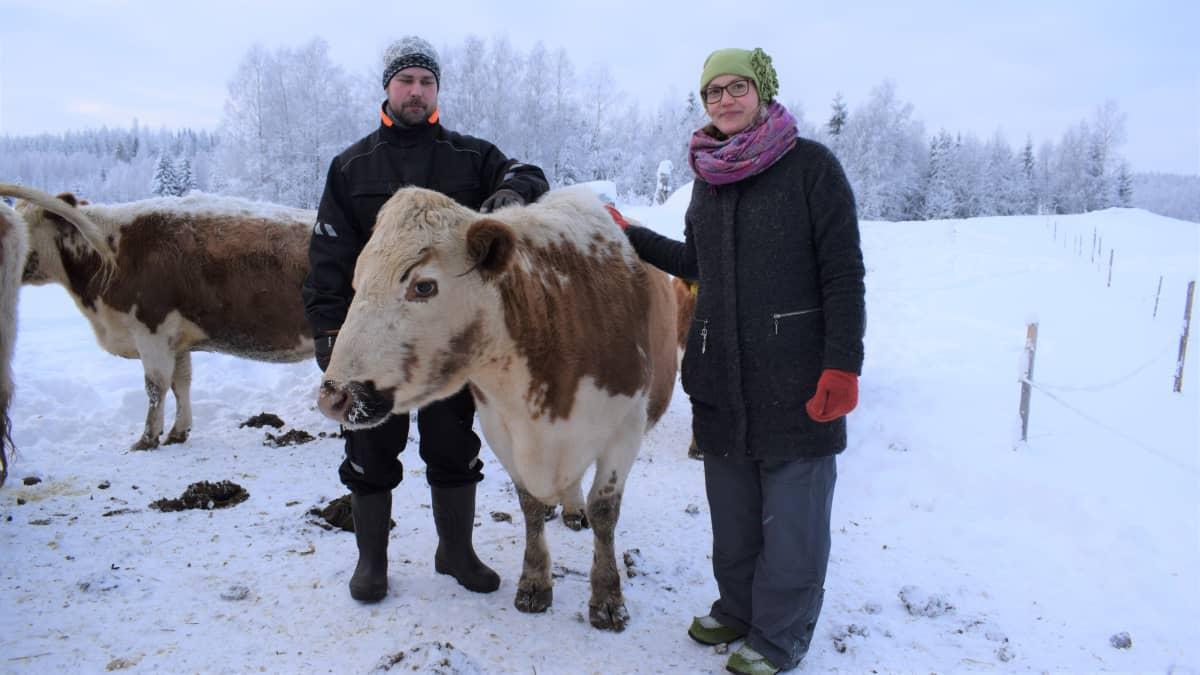 Sappion luomutilan isäntä Frans Jaatinen ja emäntä Alexandra Lindqvist Apila-lehmän kanssa.