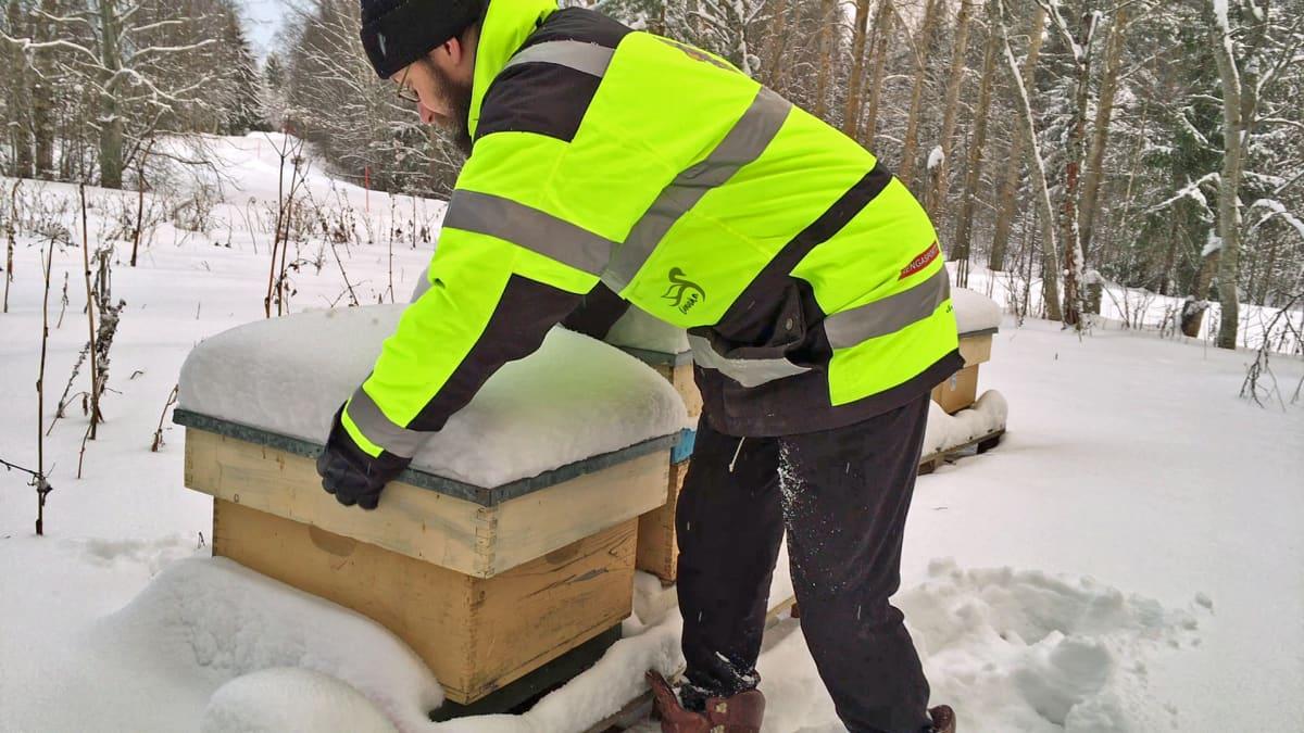 Mehiläistarhaaja Hannu Luukinen tarkistaa mehiläispesiään talvella.