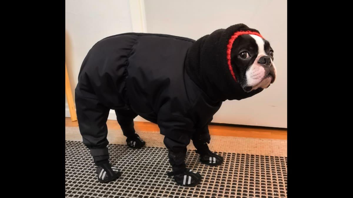 Koira talvivaatteissa.
