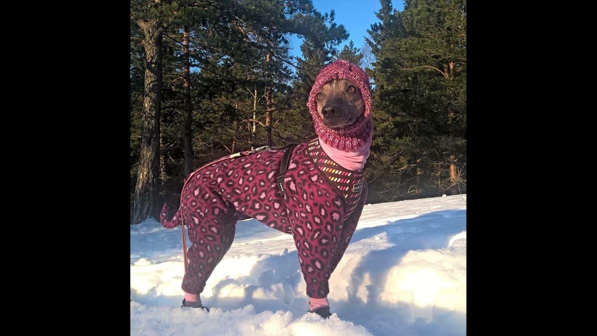 Koira talvivaatteissaan