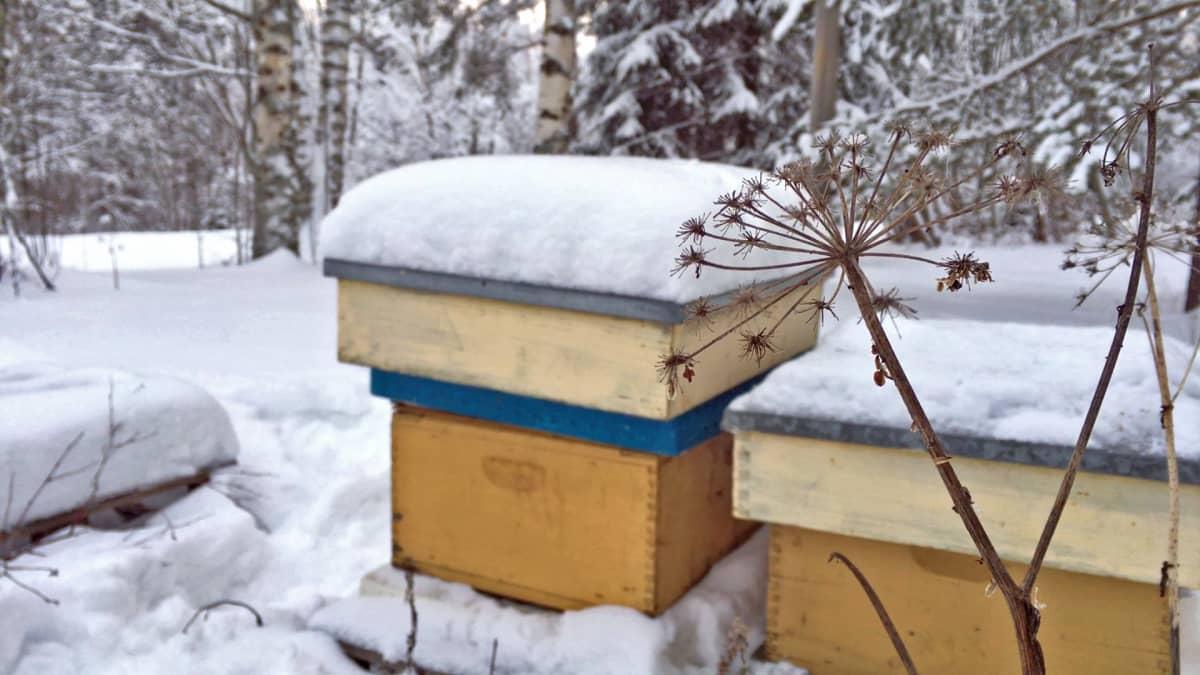 Mehiläispesiä lumen ympäröiminä.