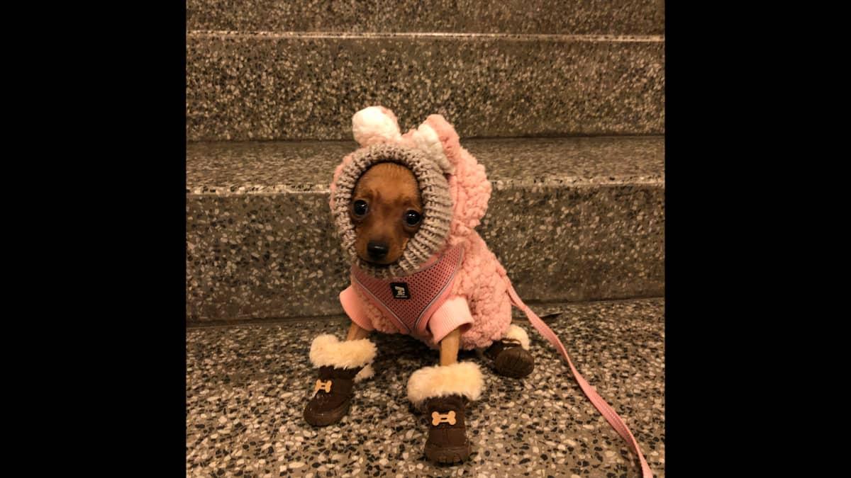 Pieni koira vaatteissa