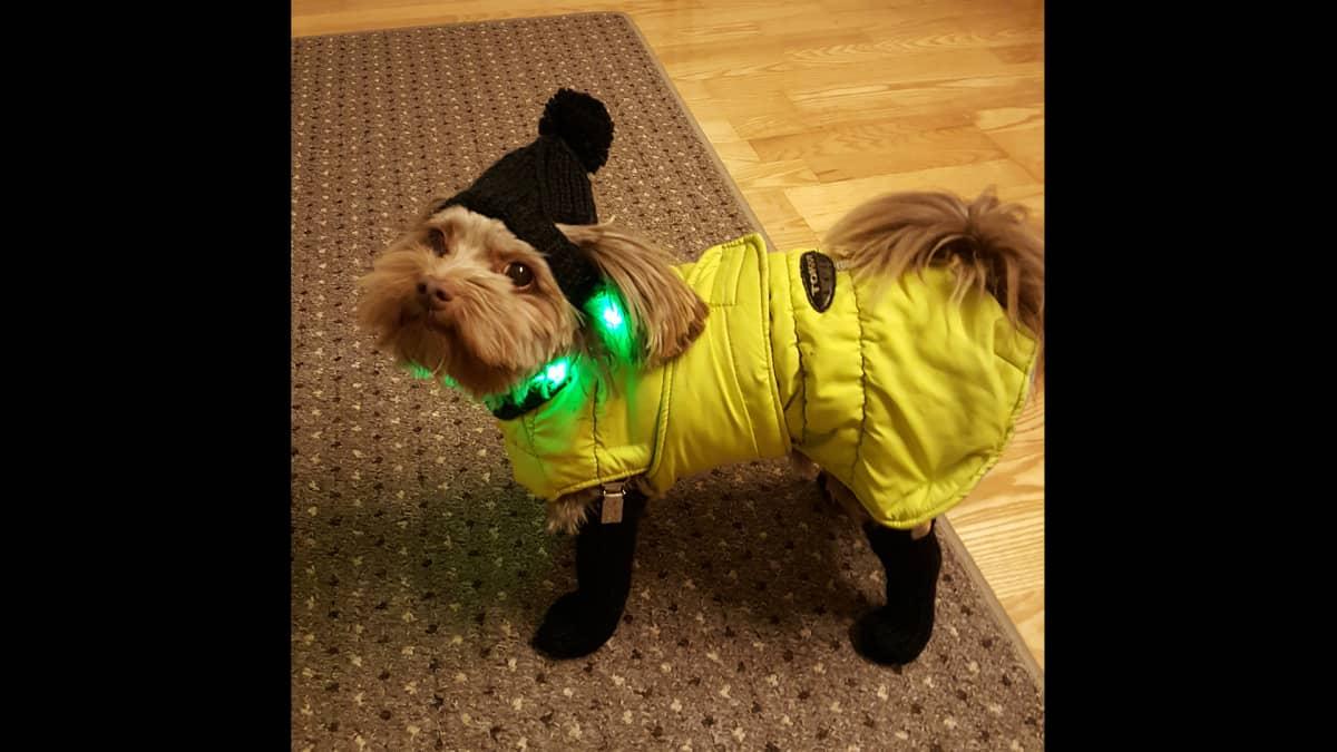 Koira talvivaatteissa