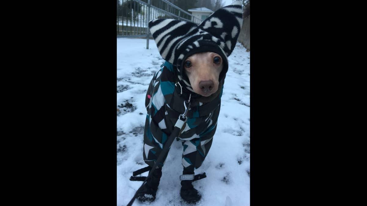 Koira hatussaan